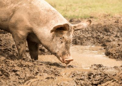 Freilandschwein beim Suhlen